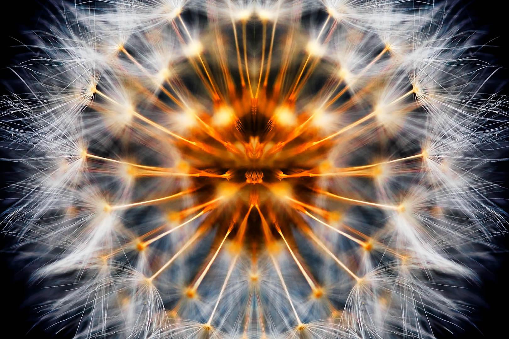 Mirrored Dandelion