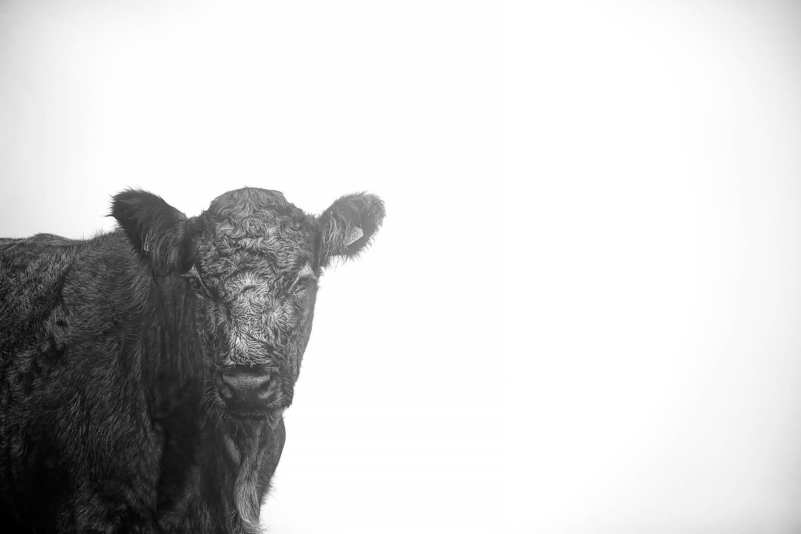 Cow In Fog