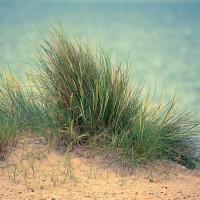 Dune Grass 1