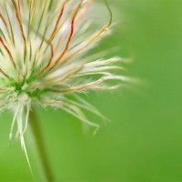 Seed Head of a Pasque Flower #1