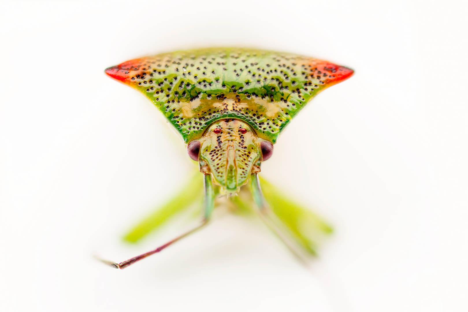 Juniper Shieldbug